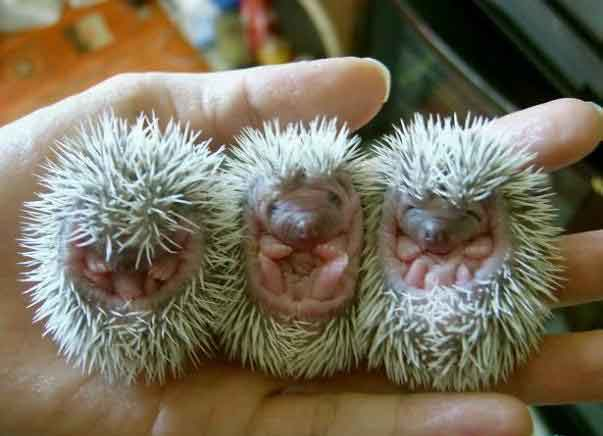 Hedgehog_babies